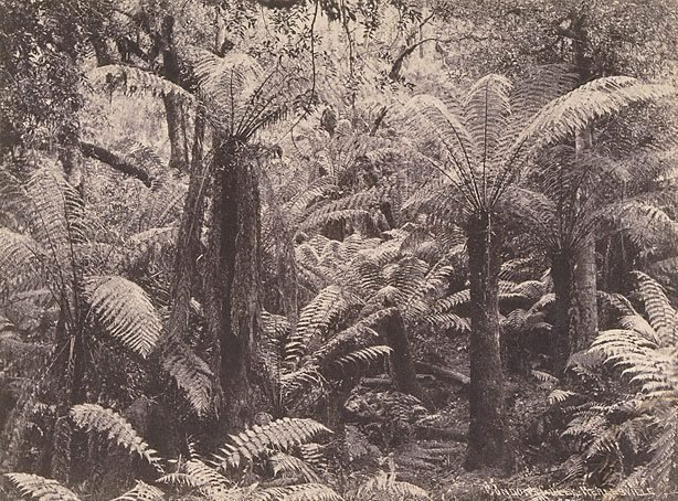 An image of Tree-ferns