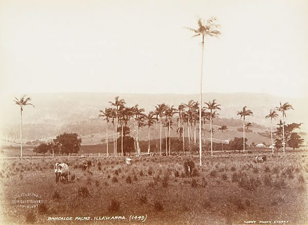An image of Bangalow palms (Archontrophoenix cunninghamiana)
