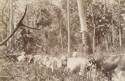 An image of Hauling timber through the scrub by Unknown