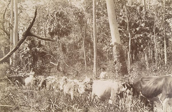 An image of Hauling timber through the scrub