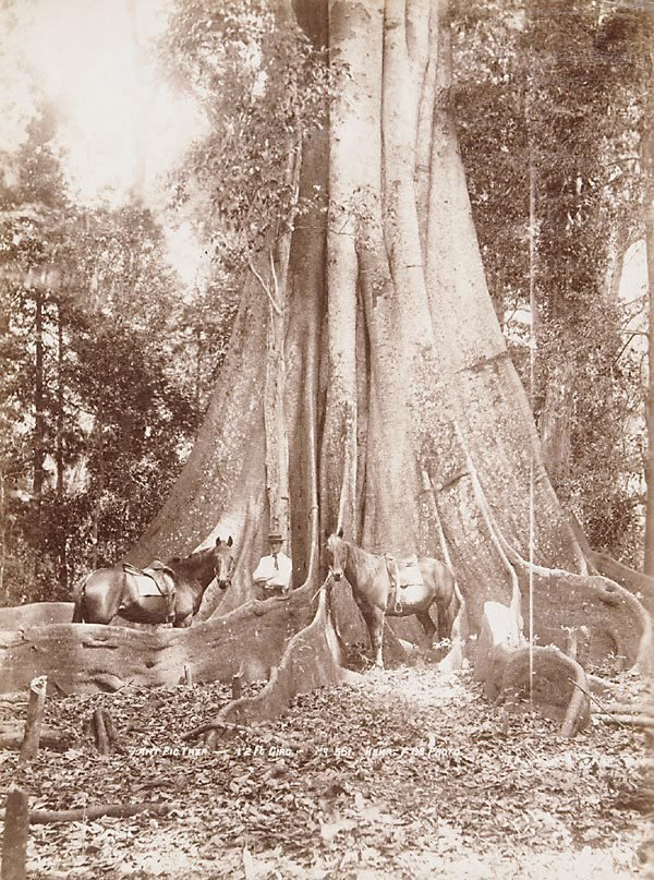 An image of Giant Fig-tree (Ficus macrophylla)