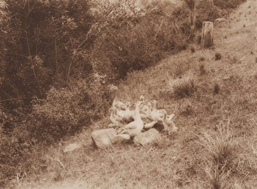 An image of Untitled (Geese on hillside) by James S Stening
