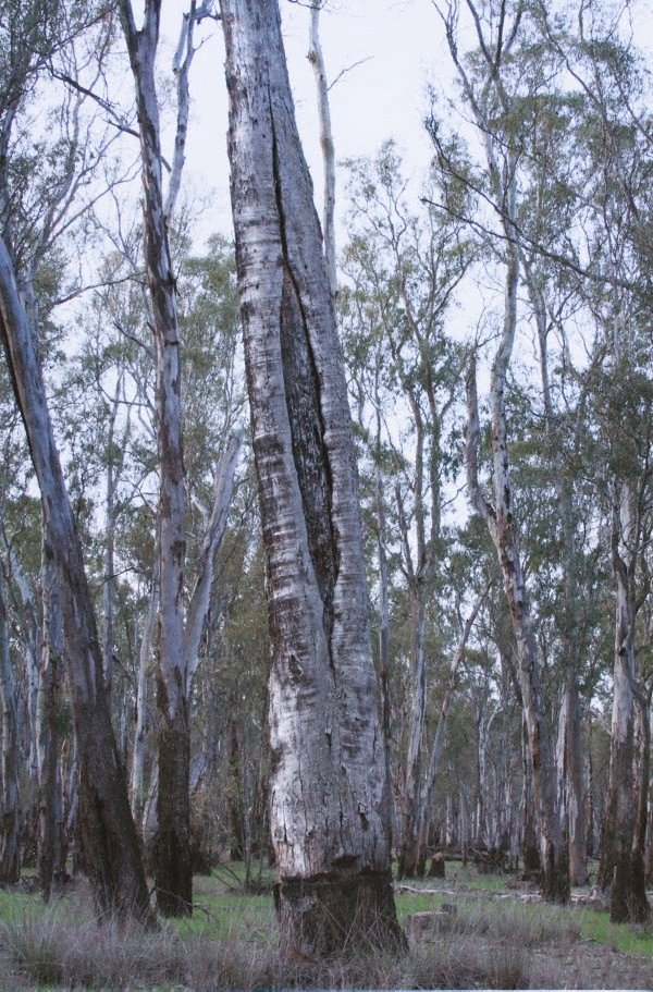 An image of 3. Barmah Forest