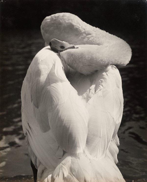 An image of London, preening swan