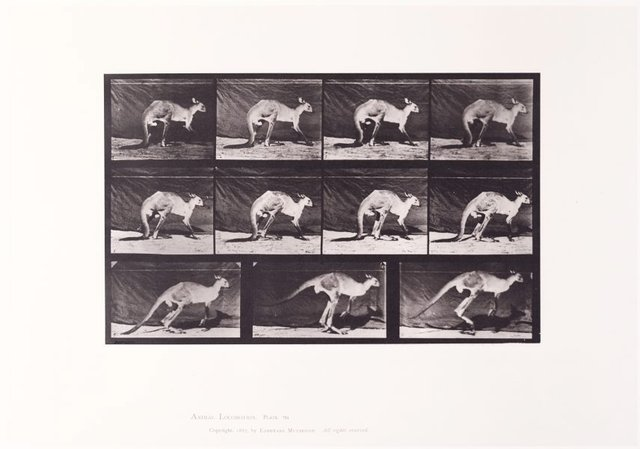 An image of Animal Locomotion - An Electrophotographic Investigation of Consecutive Phases of Animal Movements. Plate 751. Kangaroo walking on all fours, changing to jumping [Vol. 11 Wild Animals & Birds]