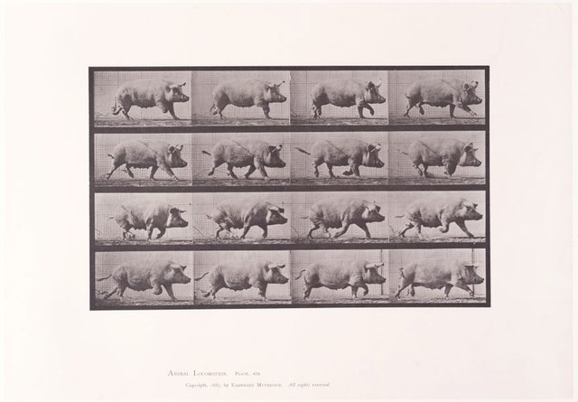 An image of Animal Locomotion - An Electrophotographic Investigation of Consecutive Phases of Animal Movements. Plate 675. Sow trotting [Vol. 10 Domestic Animals]