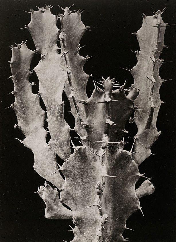An image of Euphorbia grandicornis