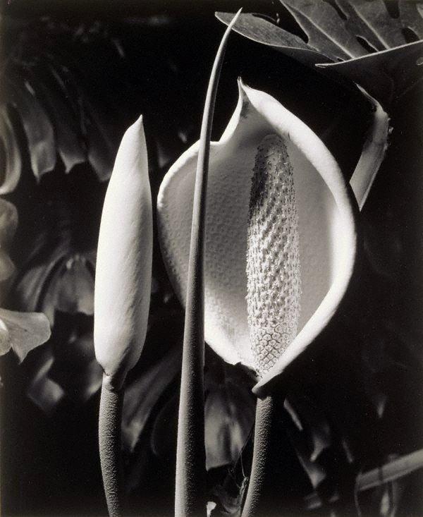 An image of Monstera deliciosa