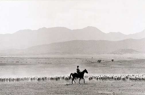 An image of South Australia, sheep muster, Flinders Ranges by David Moore