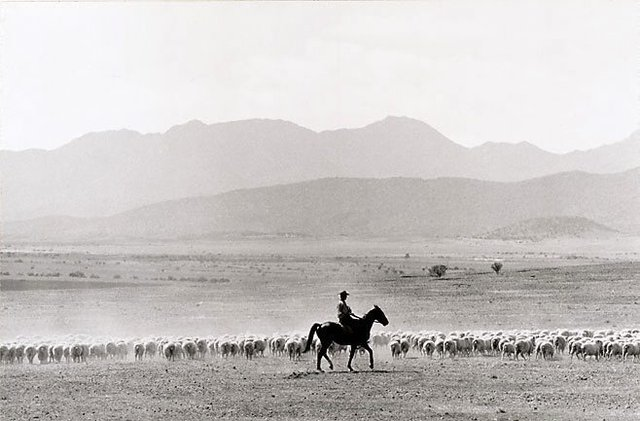 An image of South Australia, sheep muster, Flinders Ranges