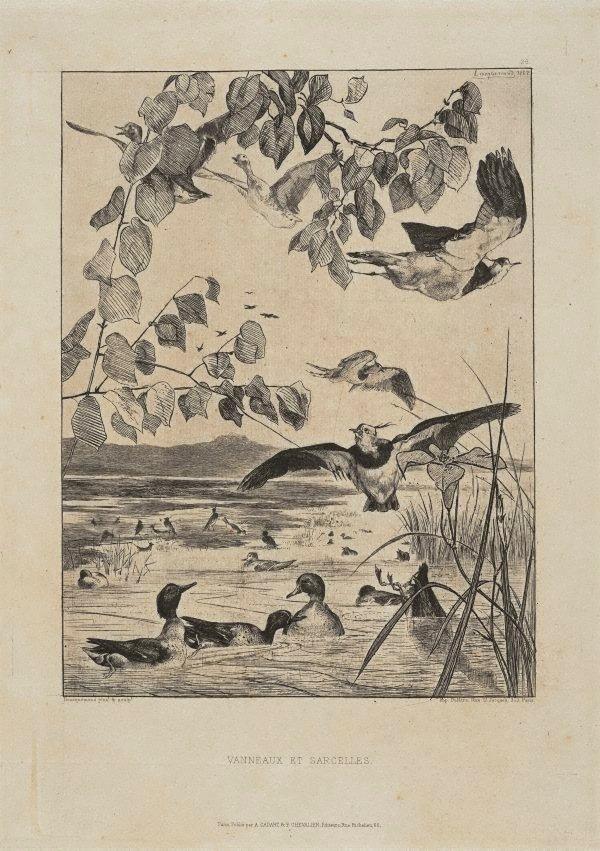 An image of Vanneaux et sarcelles