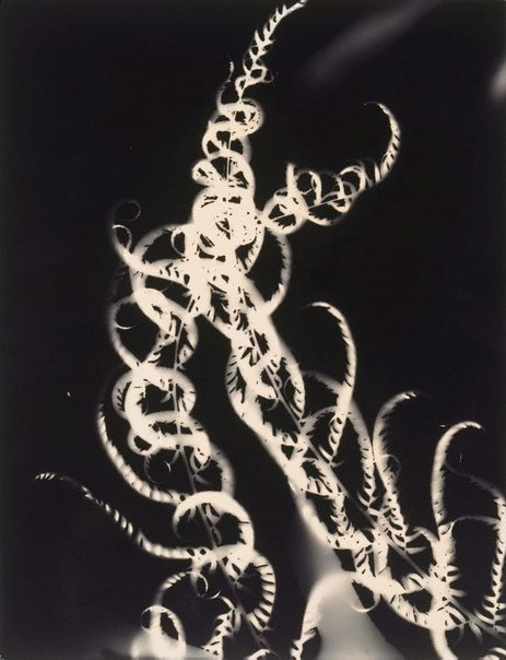 An image of Photogram (light fern, life) by Sue Ford