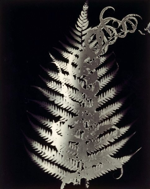 An image of Photogram (dark fern, death) by Sue Ford