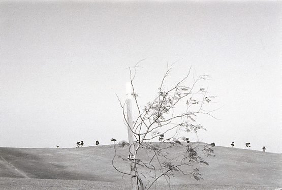 An image of Untitled (Moore Park tree)