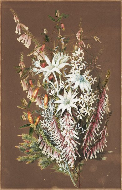 An image of (Flannel flowers) by Ellis Rowan
