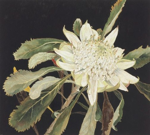An image of White waratah by Cressida Campbell