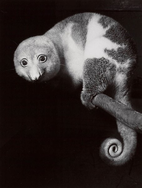 An image of Cuscus, Taronga Park, Sydney by Axel Poignant