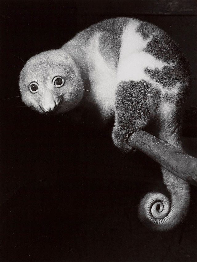An image of Cuscus, Taronga Park, Sydney