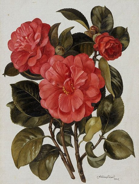 An image of Red camellia by Adrian Feint