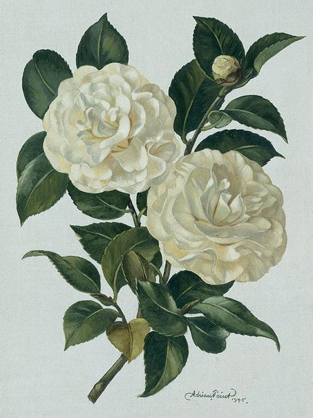 An image of White camellia by Adrian Feint
