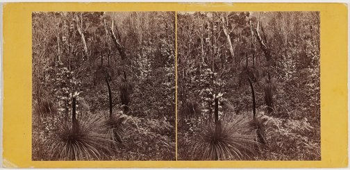 An image of Grass trees by Samuel Clifford