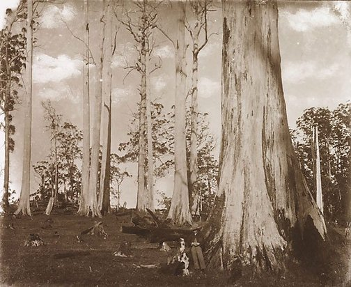 An image of Tall dead giant trees by Nicholas Caire