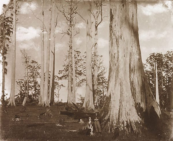 An image of Tall dead giant trees