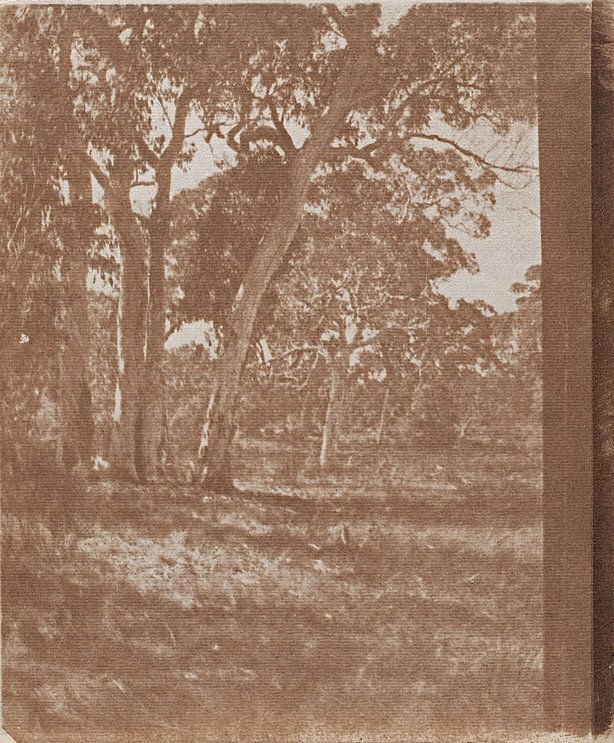An image of Untitled (Clump of gum trees)