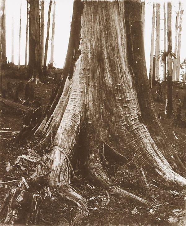 An image of Dead tree, Gippsland
