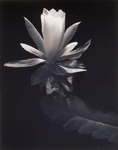 An image of Untitled (open Lily) by Max Dupain
