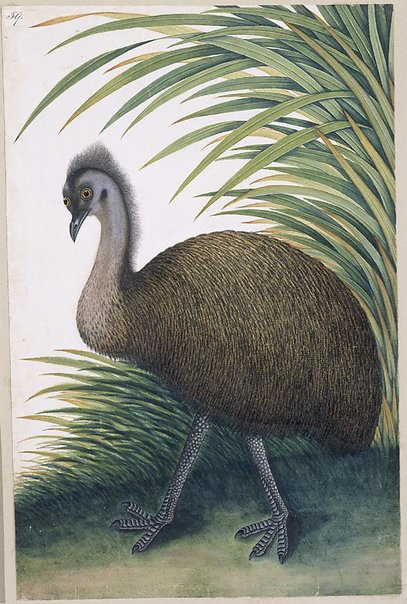 An image of Emu (Dromaius Novae Hollandaiae) by Unknown