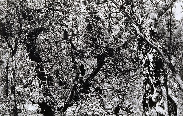 An image of Untitled (Banksias, young trees)