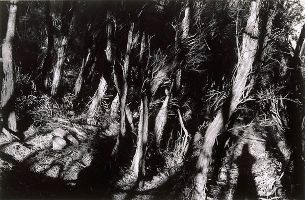 An image of Untitled (Ti-tree grove)