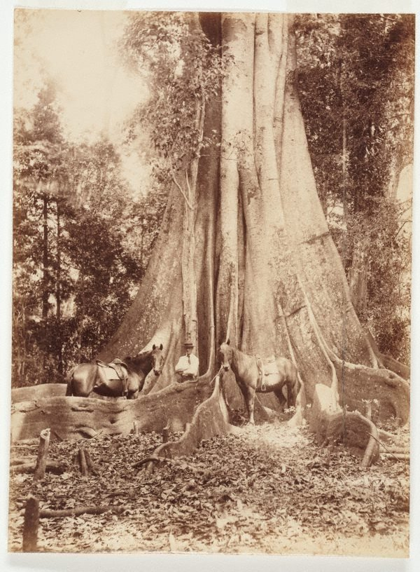 An image of The giant fig-tree NSW