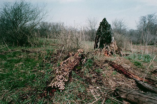 An image of Colour photograph documenting earth / body work with tree trunk and fungus, Old Man's Creek, Iowa