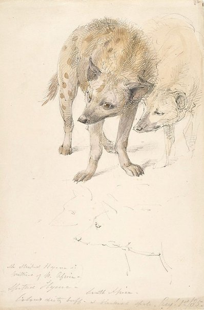 An image of Spotted hyena by William Strutt