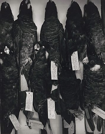 An image of Cockatoos