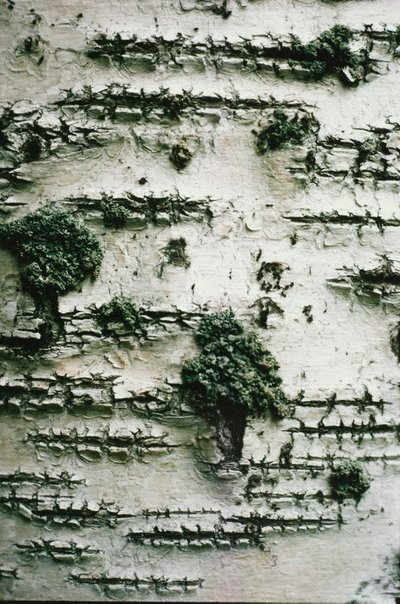 An image of Bark of birch trees, Finland by David Moore