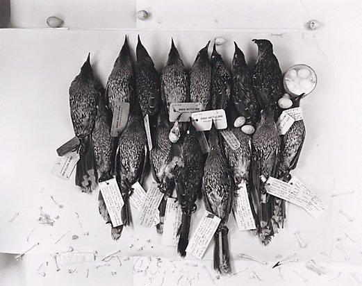 An image of Brush wattle birds