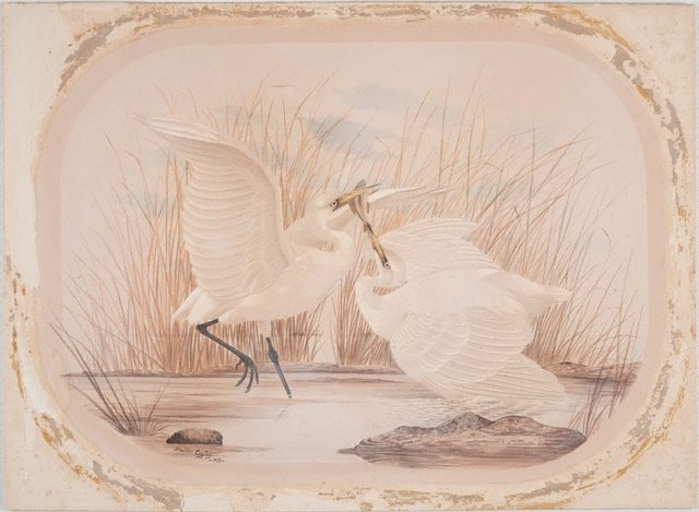 An image of Untitled (Two egrets fighting over a fish)