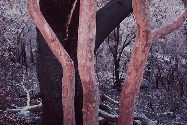 An image of Trees after bushfire, Lobster Bay, New South Wales
