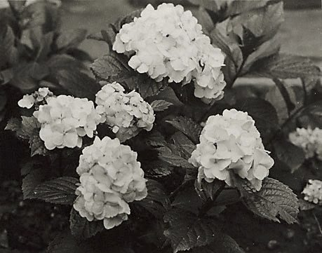 An image of Hydrangeas by Henri Mallard