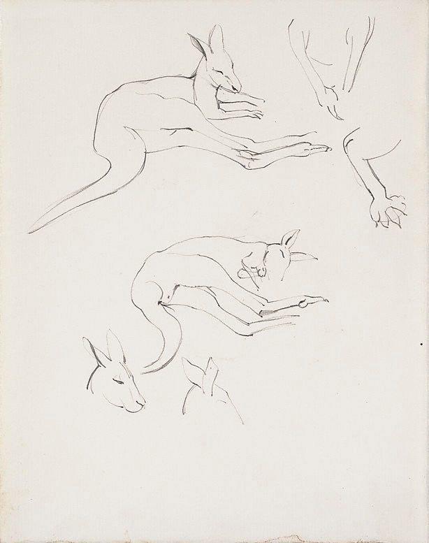An image of Studies of kangaroos, Adelaide Zoo