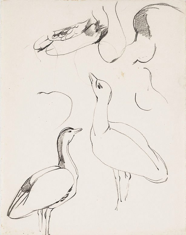An image of Study of a bustard, Adelaide Zoo