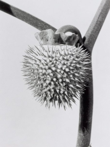 An image of Datura by Peter Peryer