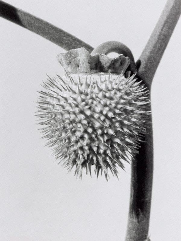 An image of Datura