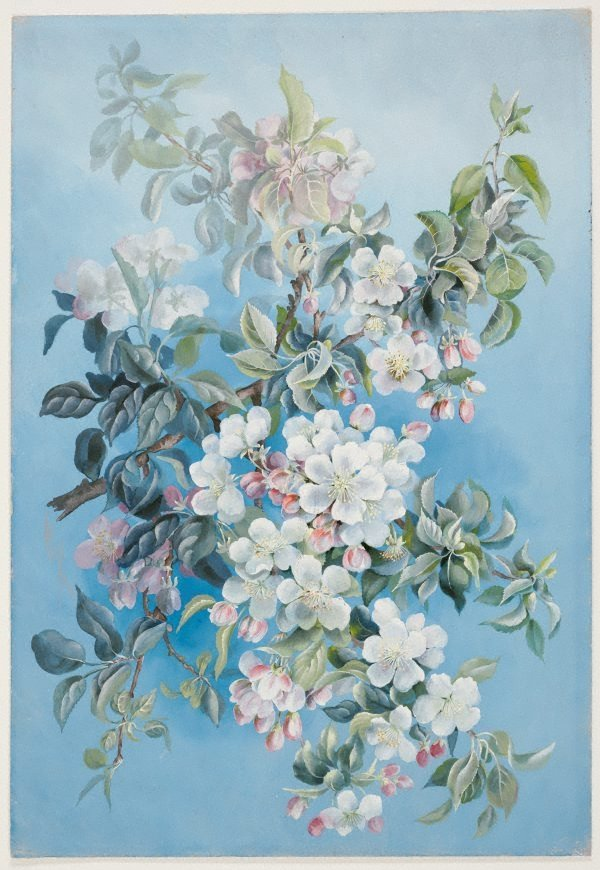 An image of Apple blossom