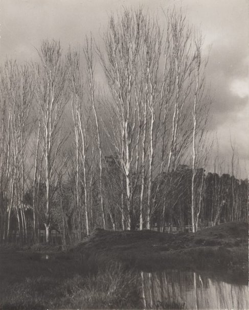An image of Silver poplars by Olive Cotton