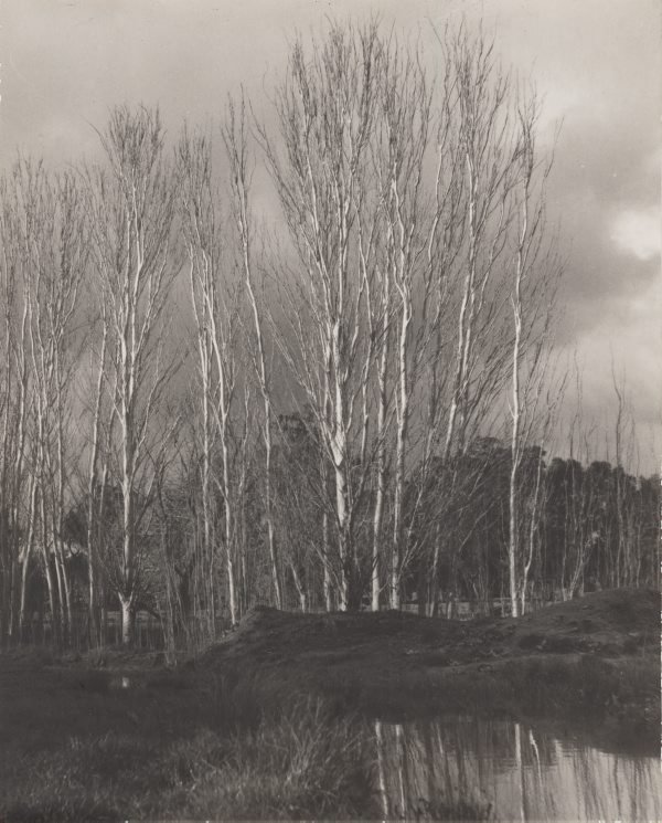 An image of Silver poplars