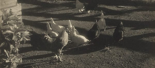 An image of Untitled (Barnyard fowls)